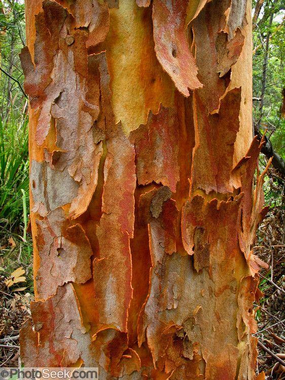 Amazing Bark Of A Eucalyptus Tree Raduzhnyj Evkalipt Derevo Sad