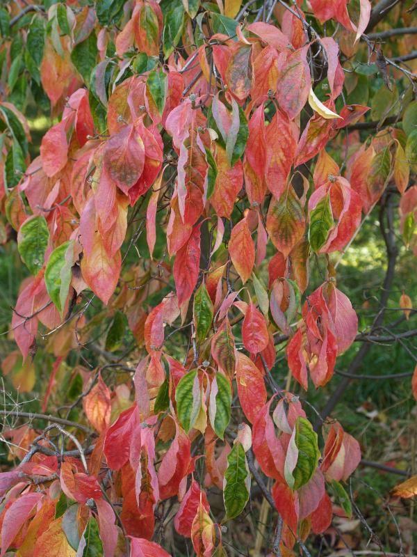 Cambridge England Botanic Garden Dogwood Autumn Leaves Dogwood Trees Dogwood Autumn Leaves