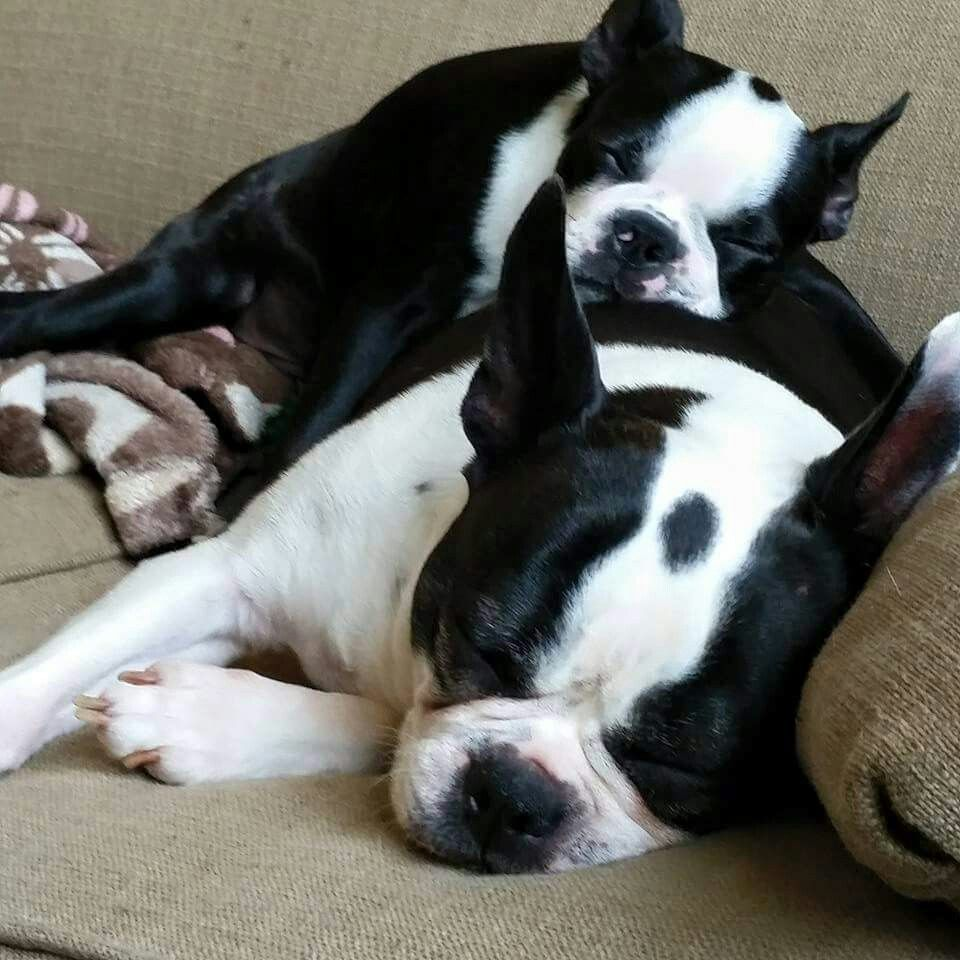 Pin By S Mcdowell On Boston Love Boston Terrier Boston Terrier Love Cute Dog Pictures