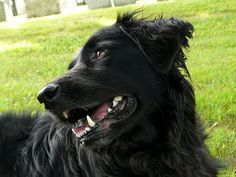 Black Lab And Golden Retriever Teach Aggressive Dogs Golden