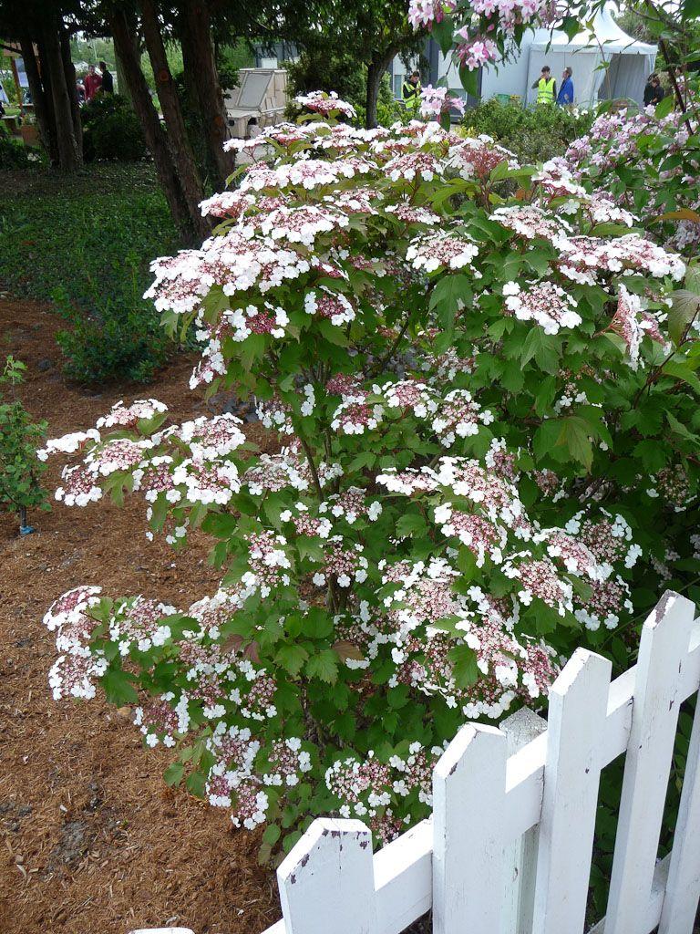 Arbuste Fleuri Feuillage Persistant viburnum sargentii 'onondaga' | arbuste, arbustes de jardin