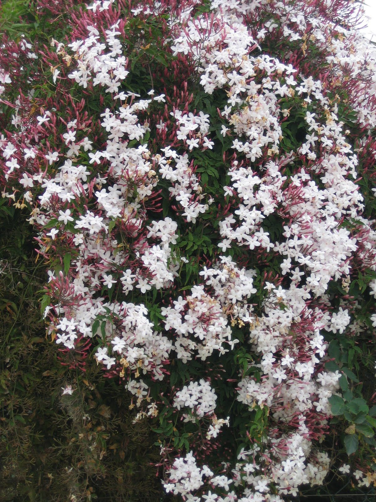 polyanthum Pink or Winter Jasmine Pint Plant