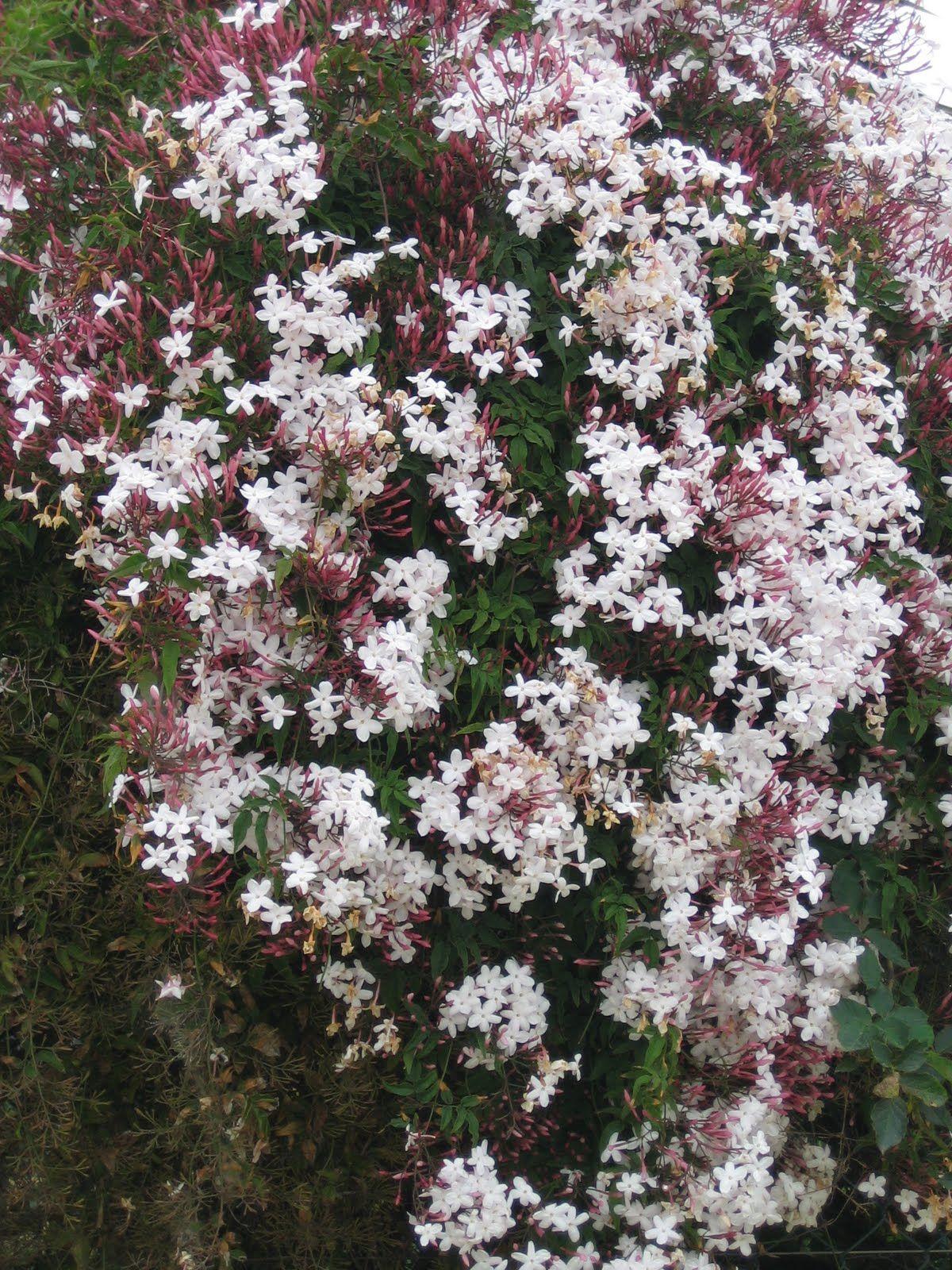 Picture of Live Pink Jasmine aka Jasminum polyanthum Espalier Plant Fit 5 Gallon Pot