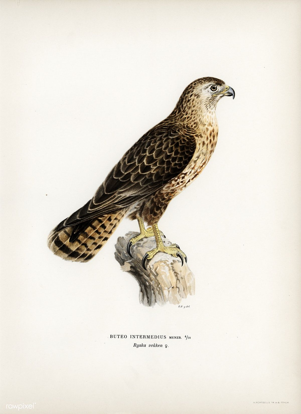 Common Buzzard Buteo Buteo Intermedius Illustrated By The Von Wright Brothers Digitally Enhanced From In 2020 Vintage Bird Illustration Common Buzzard Illustration