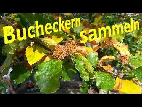 Bucheckern sammeln – Eine gratis Delikatesse aus der Natur | Vital for your life