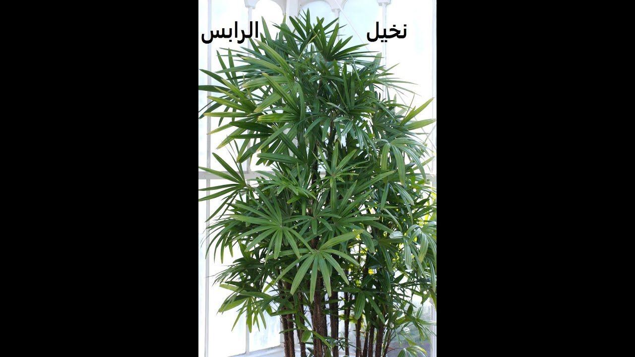 رابس طرق تكاثر ورعاية هذا النخيل Rhapis حلقة 284 Plant Leaves Plants Herbs