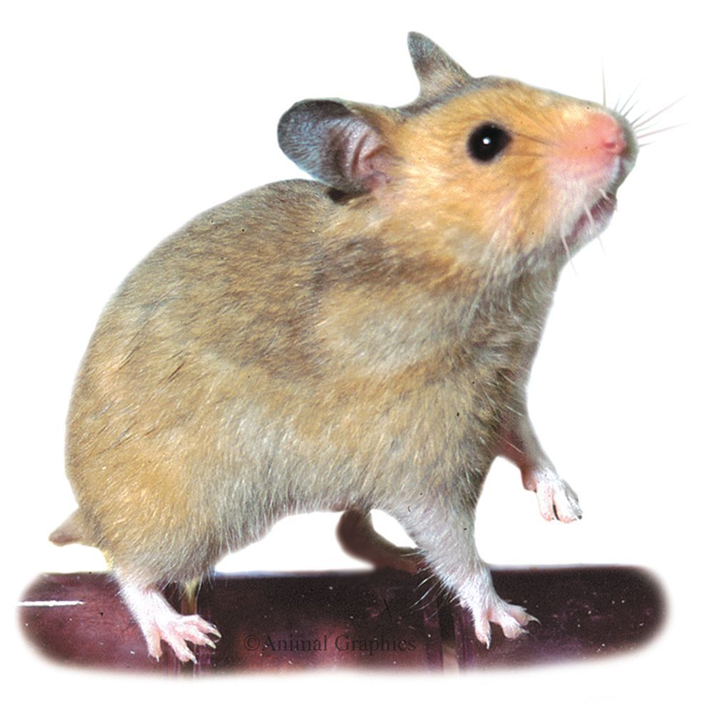Short Haired Hamster Cheap Pet Insurance Hamster Live Pet