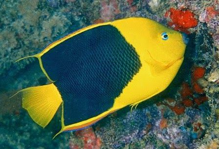 Rock Beauty Angelfish Angel Fish Fish Pet Underwater Life