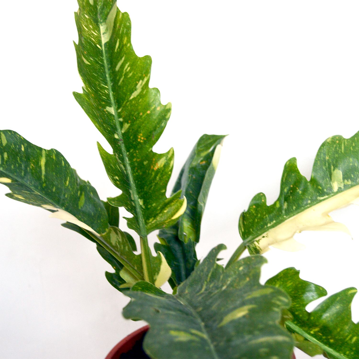 Philodendron Tiger Tooth Variegata Plants Plant Leaves