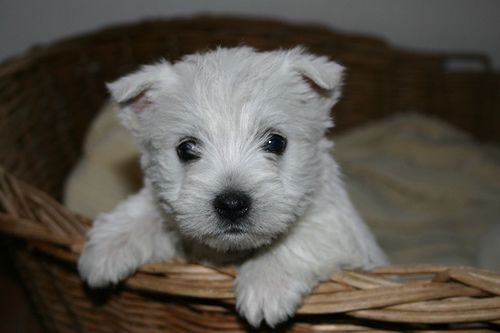 Westie Puppy Westie Puppies Puppies Terrier Puppies