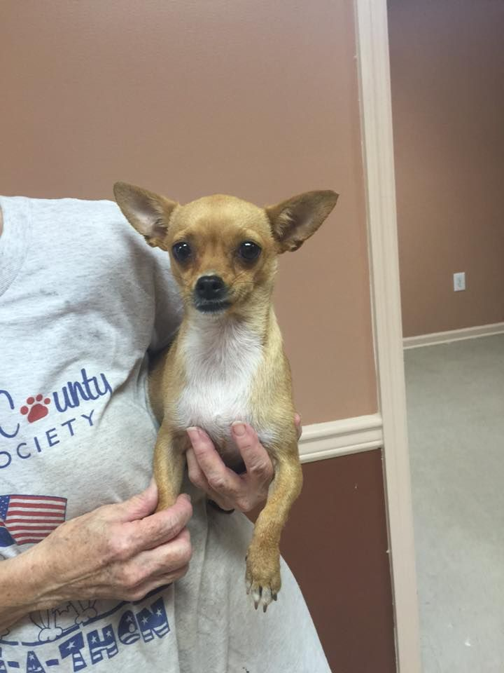 113 Facebook Chihuahua Love Chihuahua Rescue Chihuahua