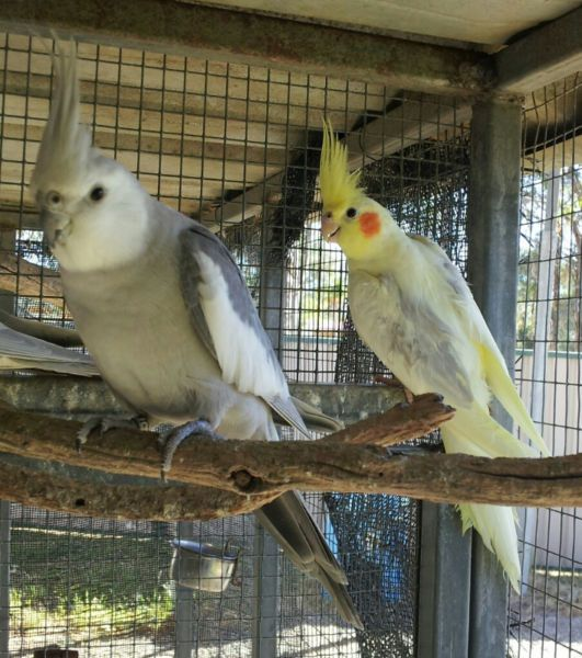 Stunning Pair Pastel Silver Pied Cockatiels Proven