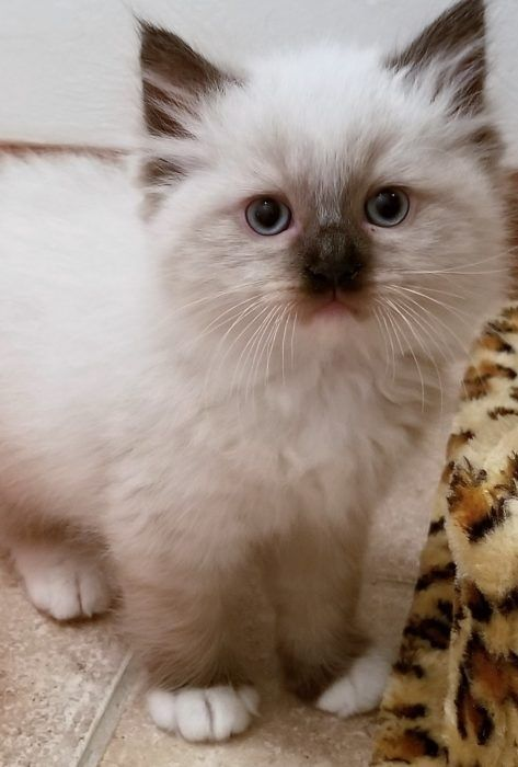 Ragdoll Kittens for sale in Florida Dixie Ragdolls Cattery #ragdollkittens Ragdo... - #catsandkittens #cattery #dixie #florida #kittens #ragdo #ragdoll #ragdollkittens #ragdollkittens #ragdolls #sale