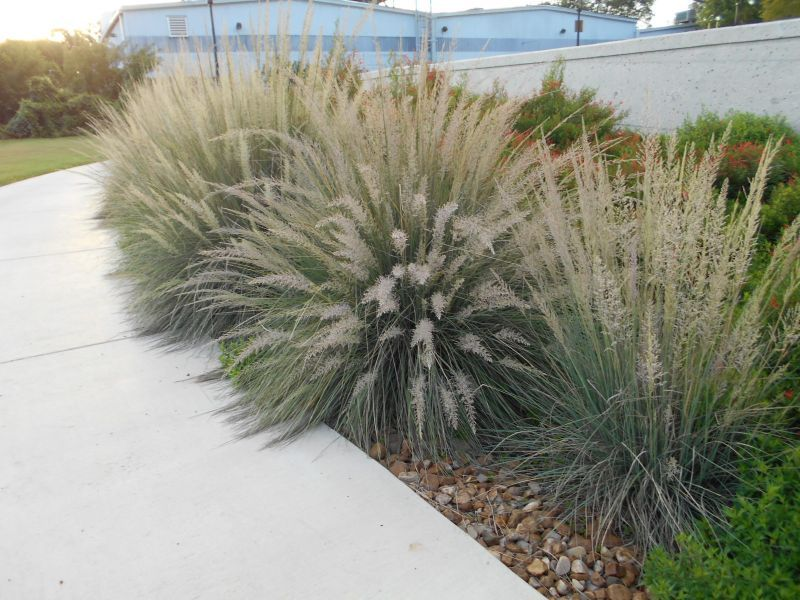 Muhlenbergia lindheimeri lindheimer 39 s muhly ornamental for Front yard ornamental grasses