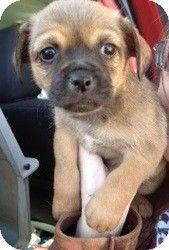 Reba S Chugs Adopted Puppy Quinlan Tx Chihuahua Pug Mix