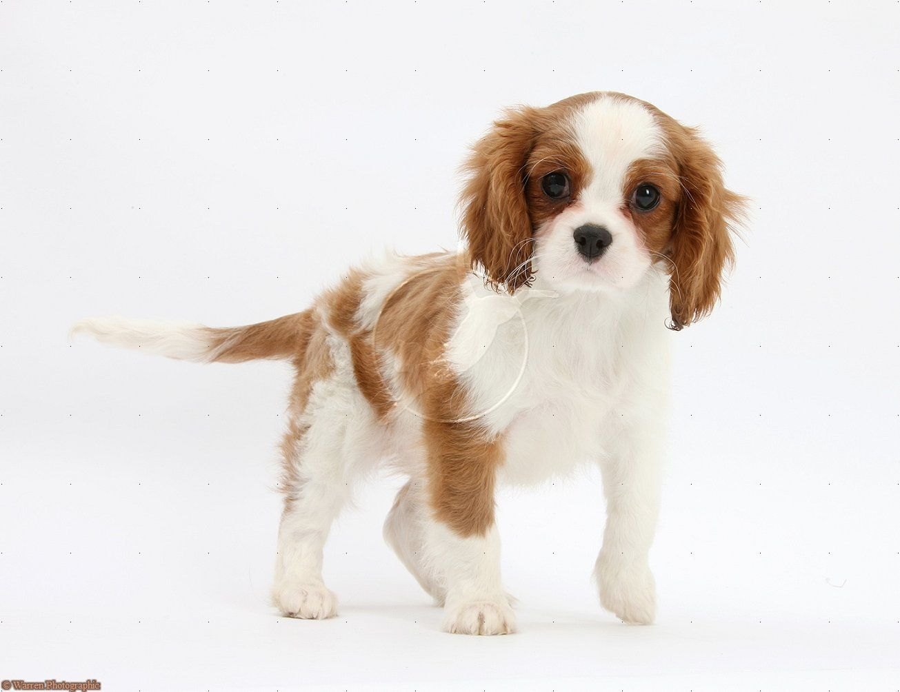 Dog: Cavalier King Charles Spaniel pup