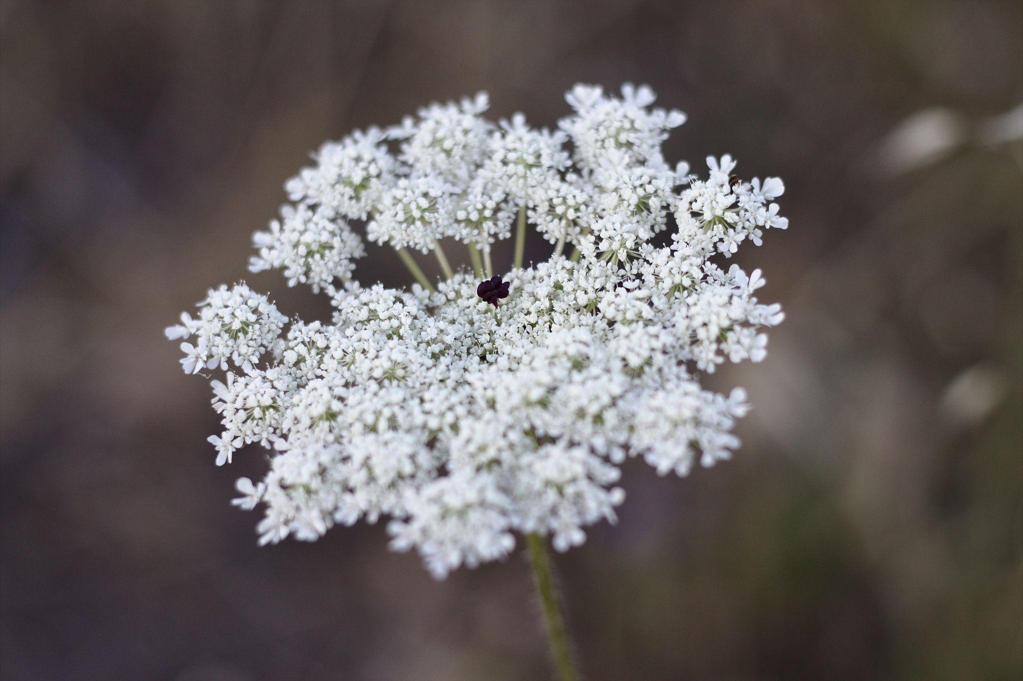 Cordón de la reina Anne | #Flor #Flower