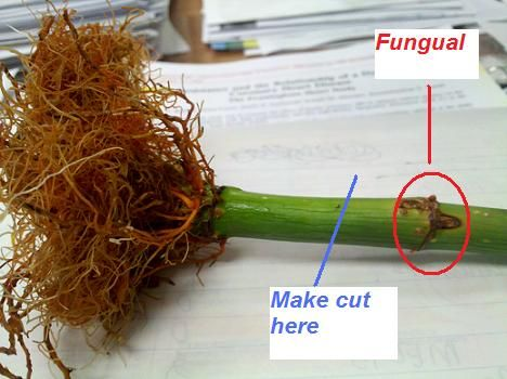 How To Get Lucky Bamboo To Grow New Shoots