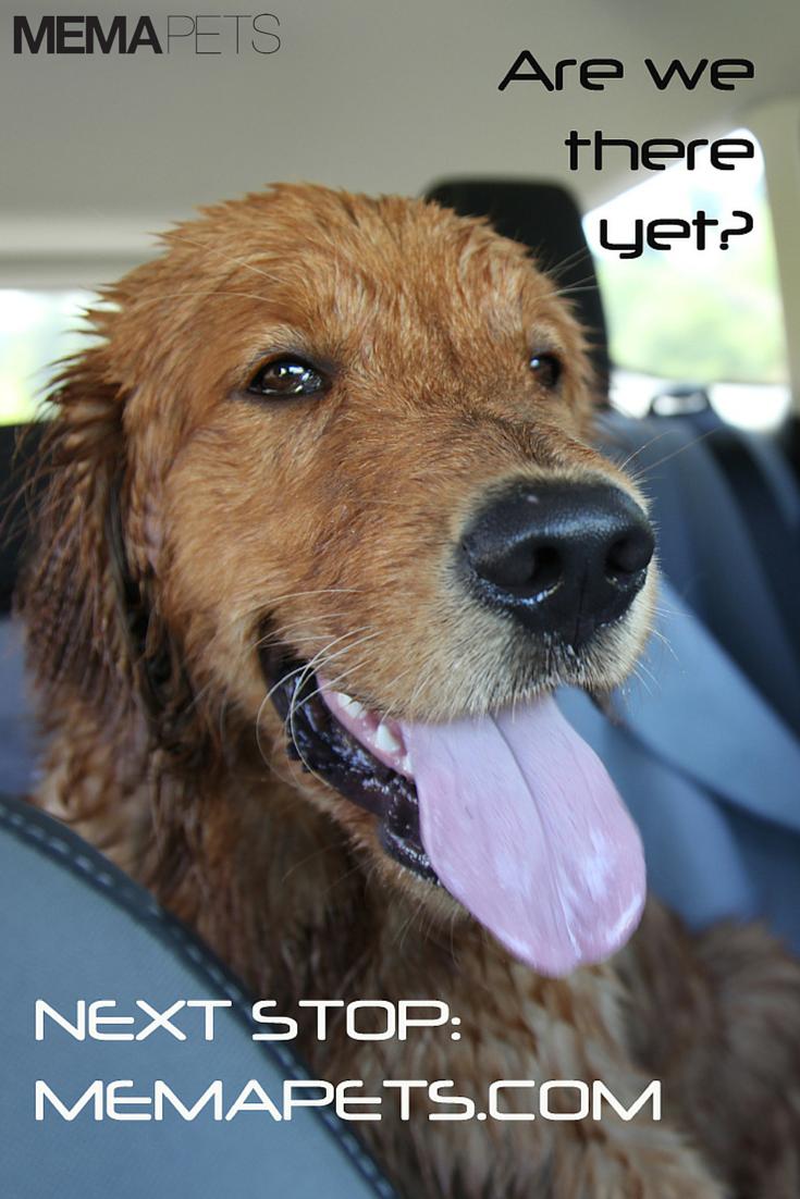 Golden retriever cute dog model ilovedogs doginthecar