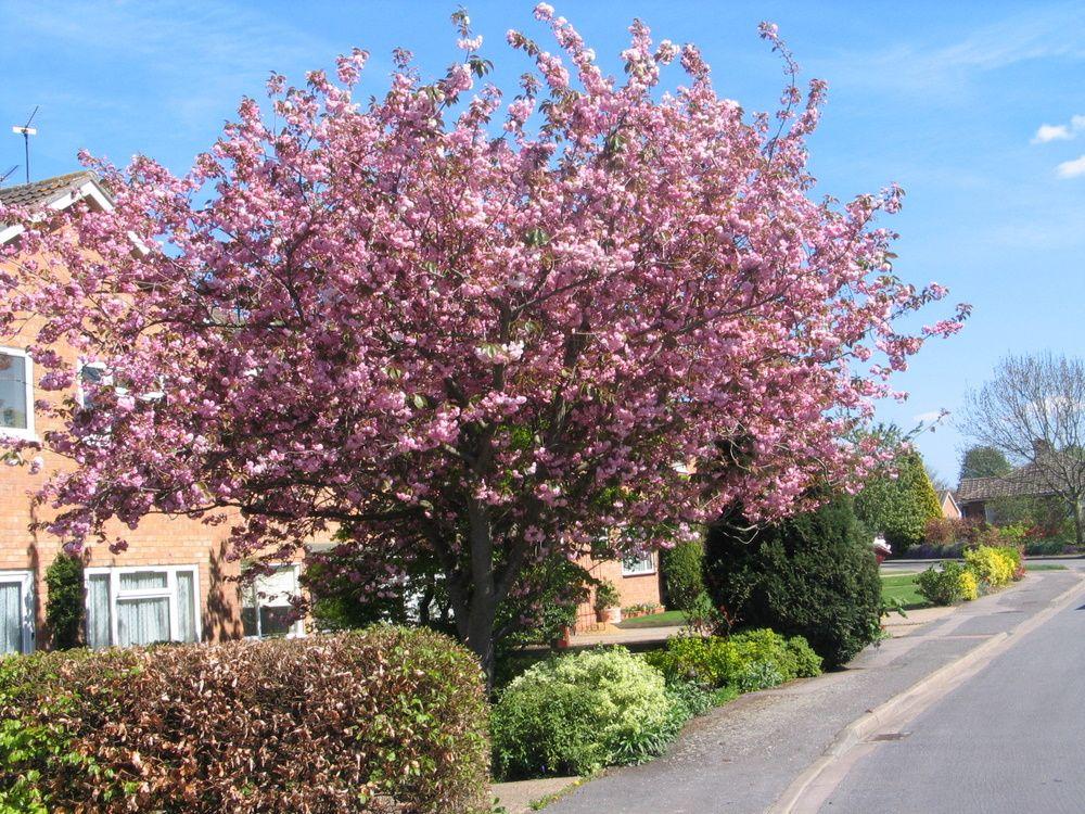 Mature cherry trees