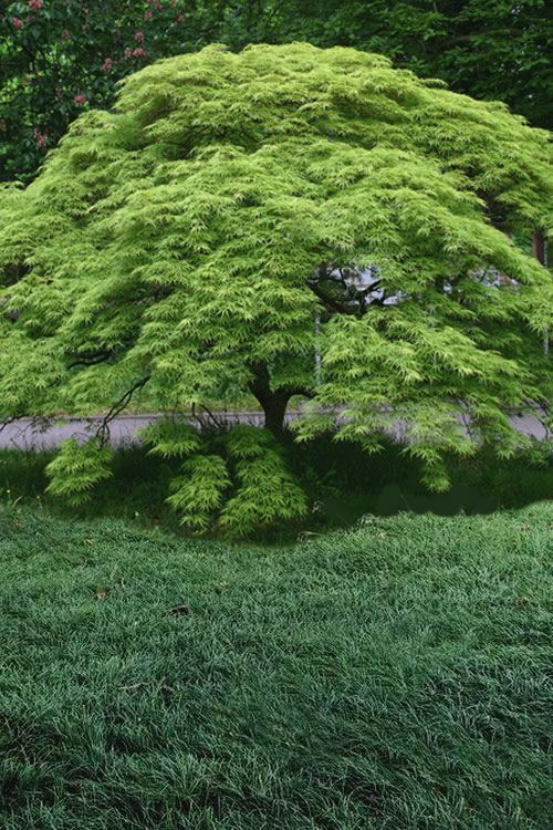 Buy Waterfall Japanese Maple - FREE SHIPPING - Dwarf Weeping Green Japanese Maple Trees For Sale Online From Wilson Bros Gardens #japanesemaple Buy Waterfall Japanese Maple - FREE SHIPPING - Dwarf Weeping Green Japanese Maple Trees For Sale Online From Wilson Bros Gardens #japanesemaple