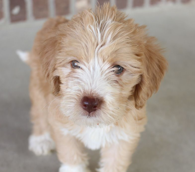 Labradoodle Labradoodlepuppies Labradoodle Puppies For Sale