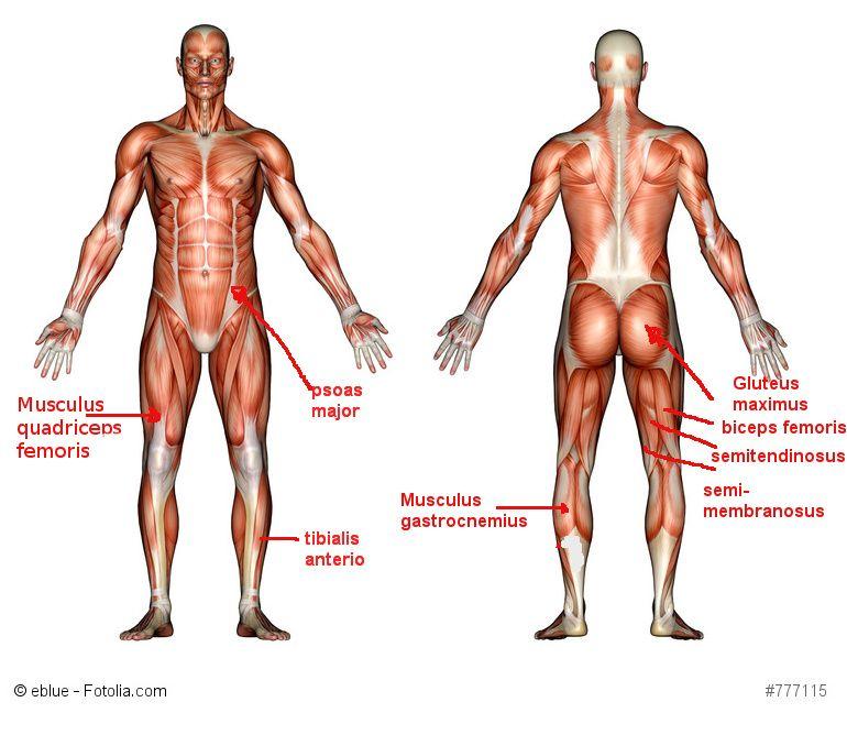 Muskeln die mit dem Heimtrainer Ergometer trainiert werden