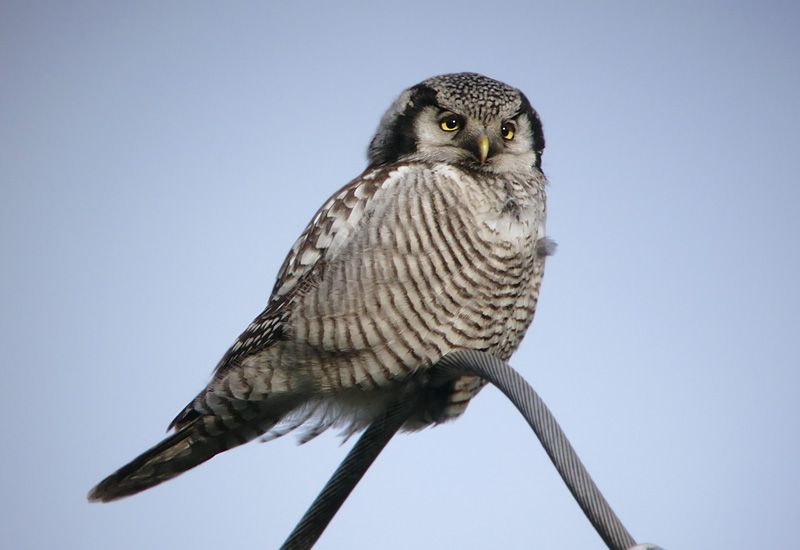 Camiguin Hawk Owl | Hawk Owl , Zwolle, Holland 31/12/2013