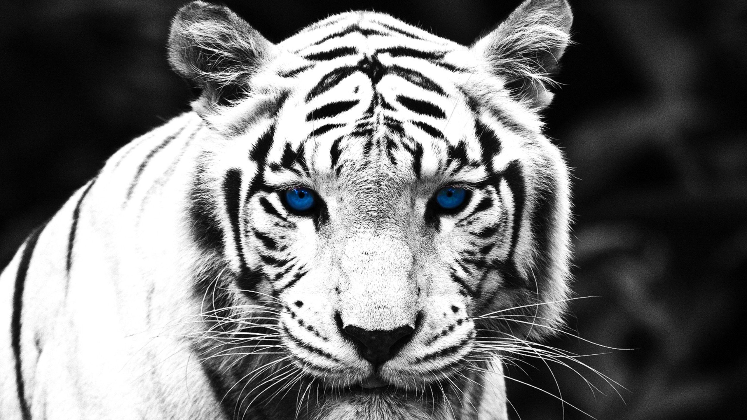 fecoo | cats | pinterest | tiger wallpaper, tigers and wallpaper