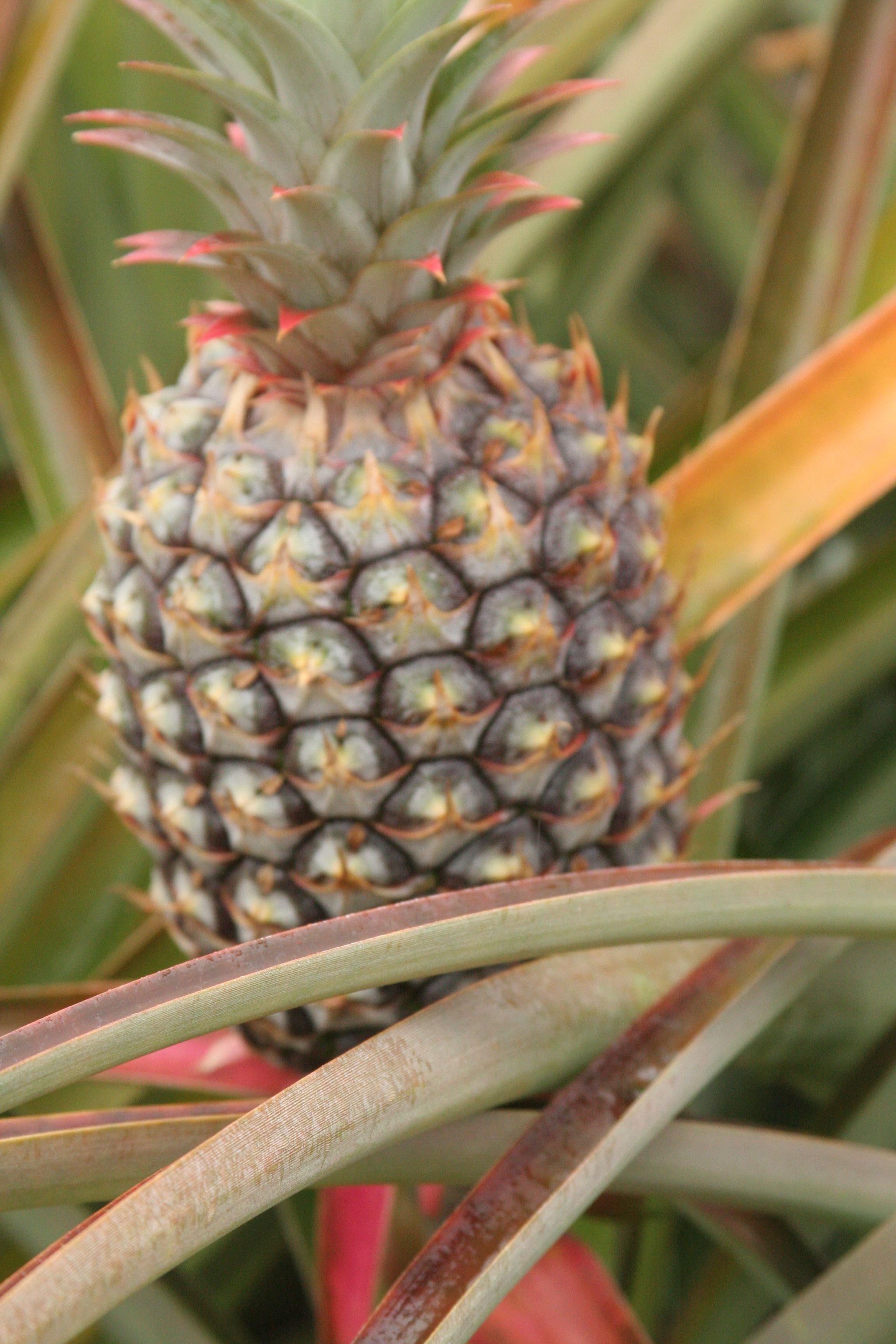 Visited the Dole Plantation, Wahiawa, Hawaii   Favorite Places ...
