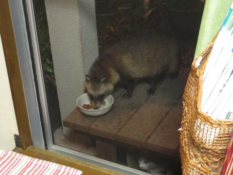 """ことりさんはTwitterを使っています: """"猫のエサ食べてる音がきったないなあ,と見てみたらエッ誰!? たぬき? タヌキこの辺に,名古屋の住宅街にもいるの? たぬき! そして縁台の下で不安げな猫! http://t.co/1PCyli9nZz https://twitter.com/cotoriGlobule/status/645603783427227648"""