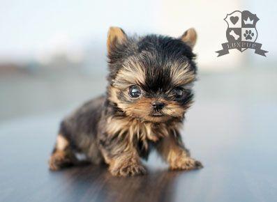 Teeny Tiny Yorkie Cute Baby Animals Cute Animals Teacup Puppies