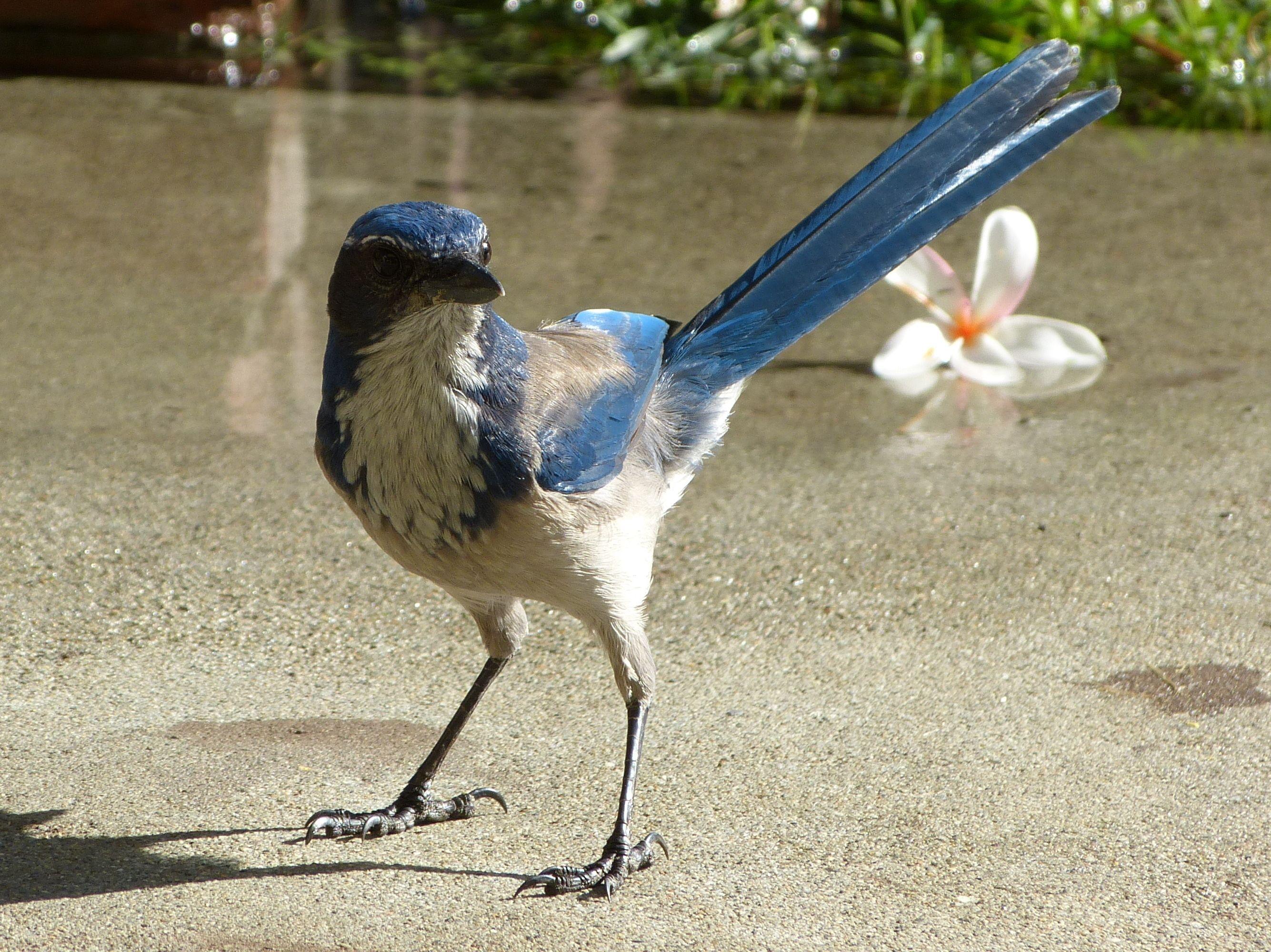 Scrub Jay