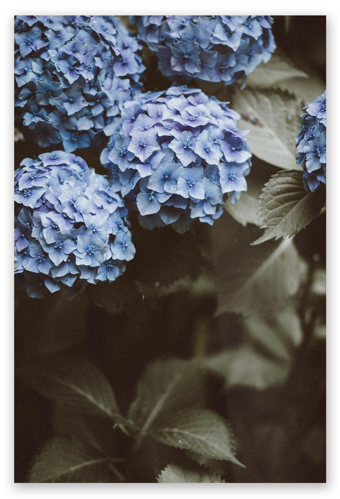 Blue hydrangea products