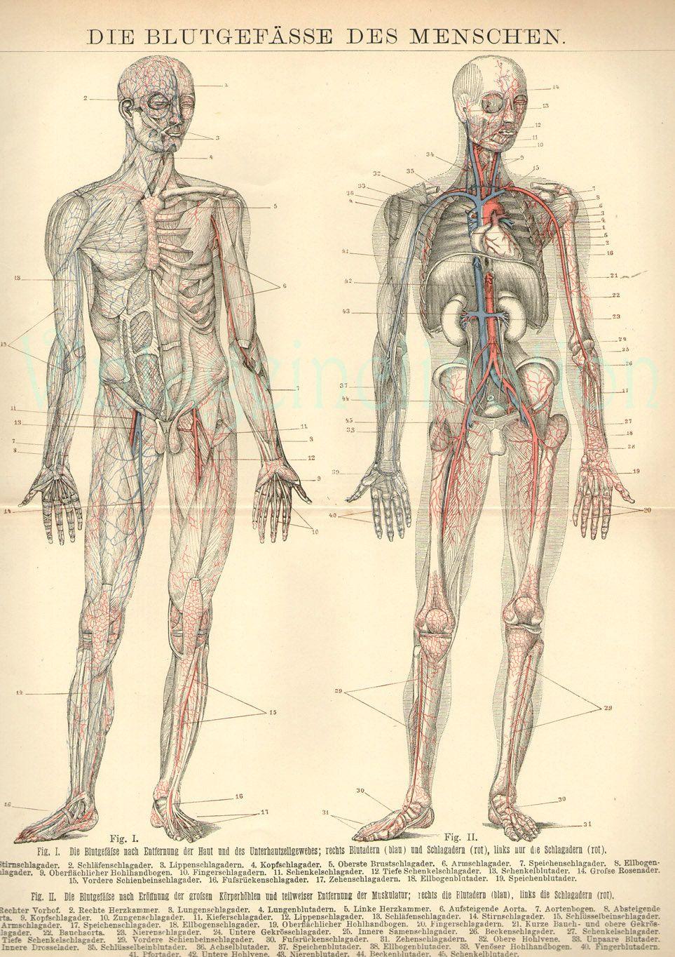 1894 Human Anatomy Print, Circulatory Sytem Blood Vessels ...
