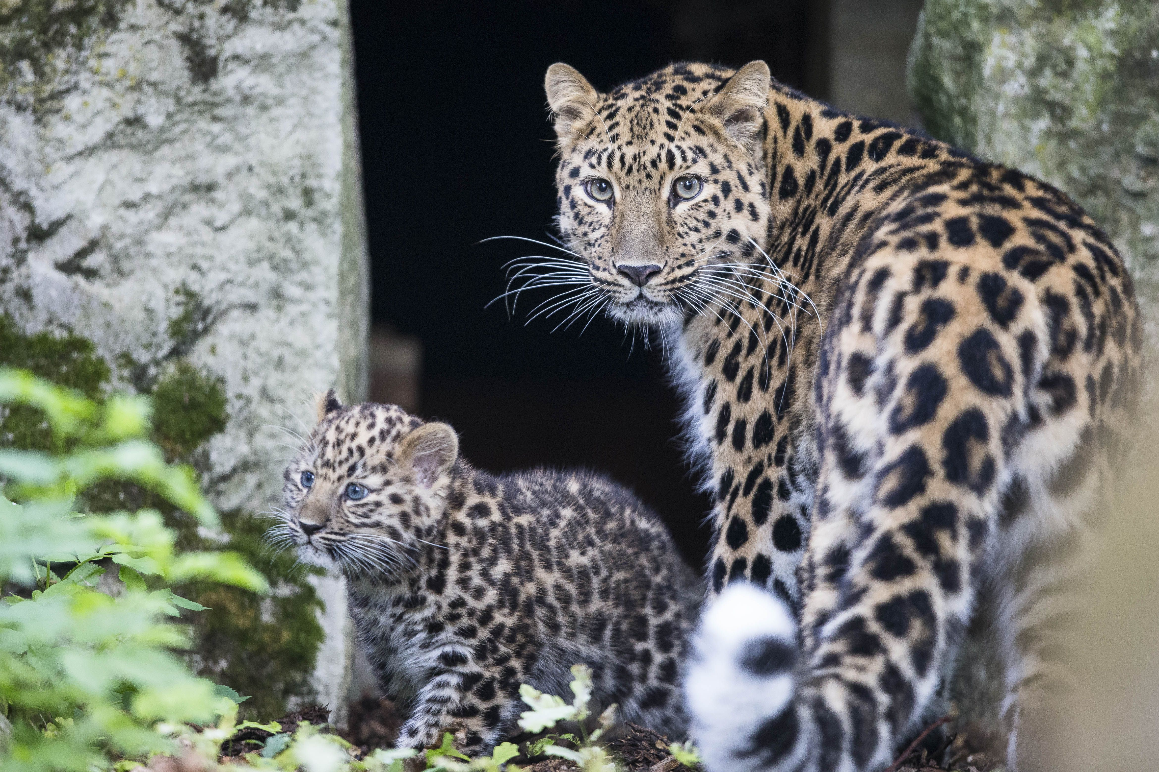 The Amur Leopard Is Critically Endangered