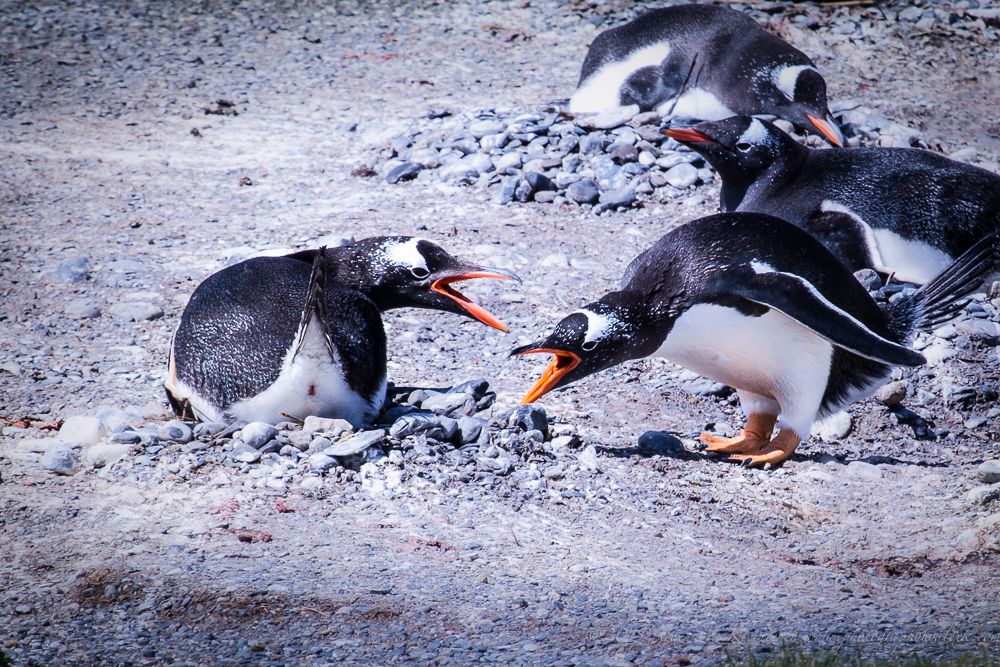 Magellan Penguins From The Beagle Channel Ushuaia Argentina How