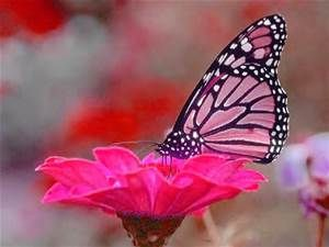 Real Pink Butterfly - Bing Images | Butterfly wallpaper ...