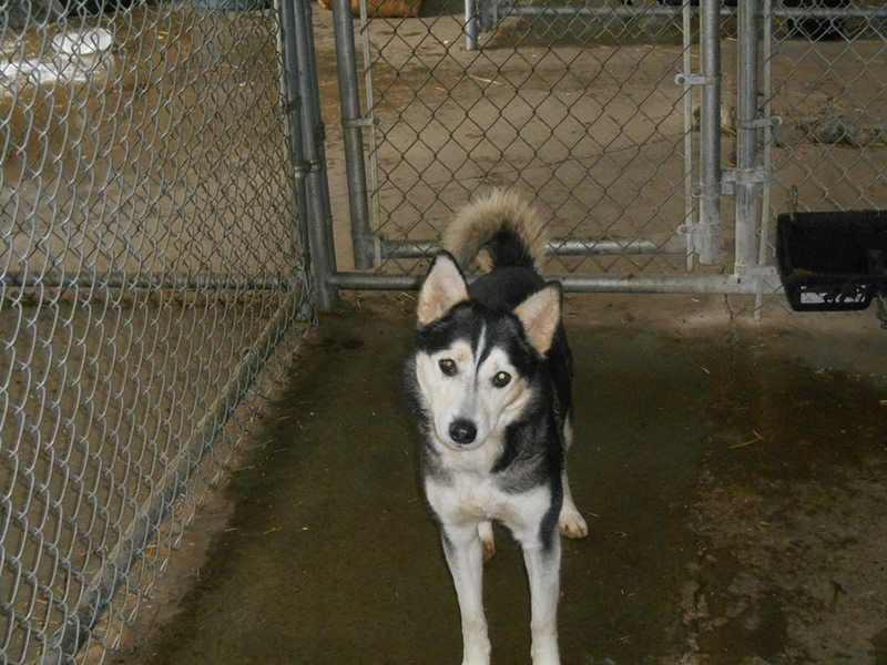 Adopt Sasha Adoption Pending On Dog Pounds Husky Husky Adoption