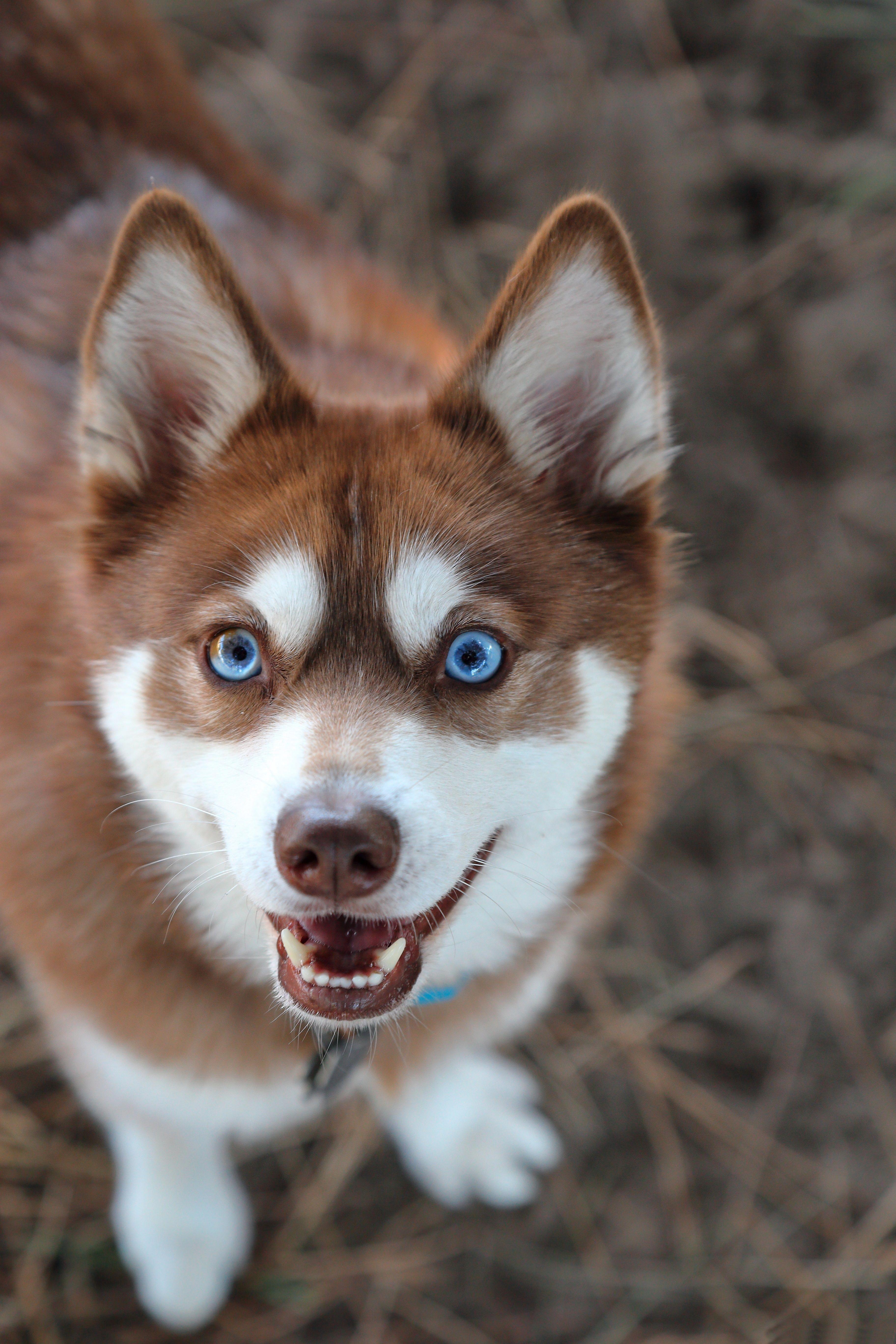 Siberian Huskies Information
