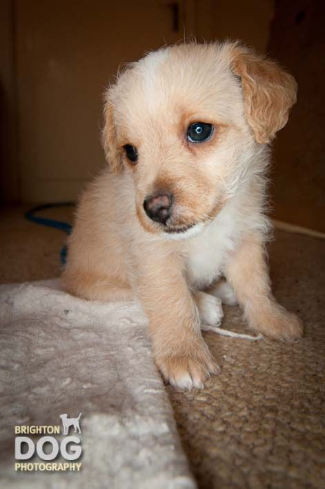 An Adorable 6 Week Old Jackapoo Pup How Adorable Dog Photography Cute Dogs Dogs