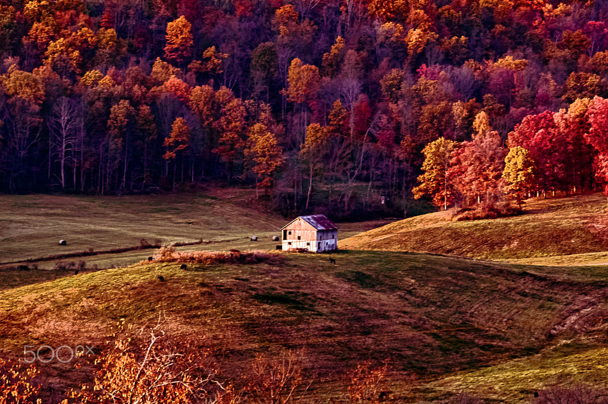 Barn isolated on a hill surrounded by cattle and trees set off with beautiful fall colors. Located in rural Ohio.
