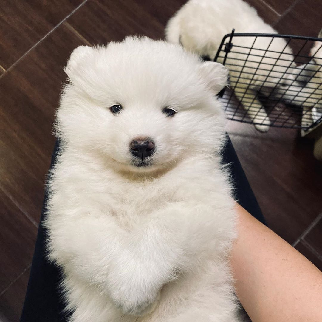Payson Chow Chow Puppy For Sale Near Los Angeles California B2518e34 3ba1 Chow Chow Puppy Chow Puppies For Sale Puppies For Sale
