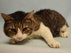 Manhattan Center Woolie A1073200 Male Blk Tabby White Domestic Mh Mix 10 Yrs Owner Sur Evaluate No Hold Siberian Cats For Sale Cat Adoption Old Cats
