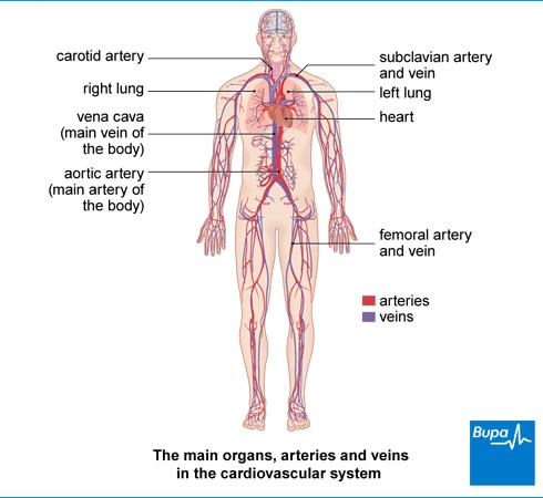 Cardiovascular System | Cardiovascular System | Pinterest