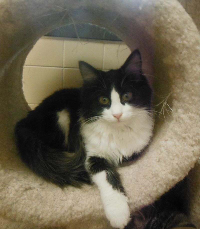 My name is Fiona and I came to the shelter as a stray in August. I was fostered until I was ready for adoption, and now here I am! I am about 5 months old now and such a sweet heart. I have medium length hair, so an occasional brushing will help my...