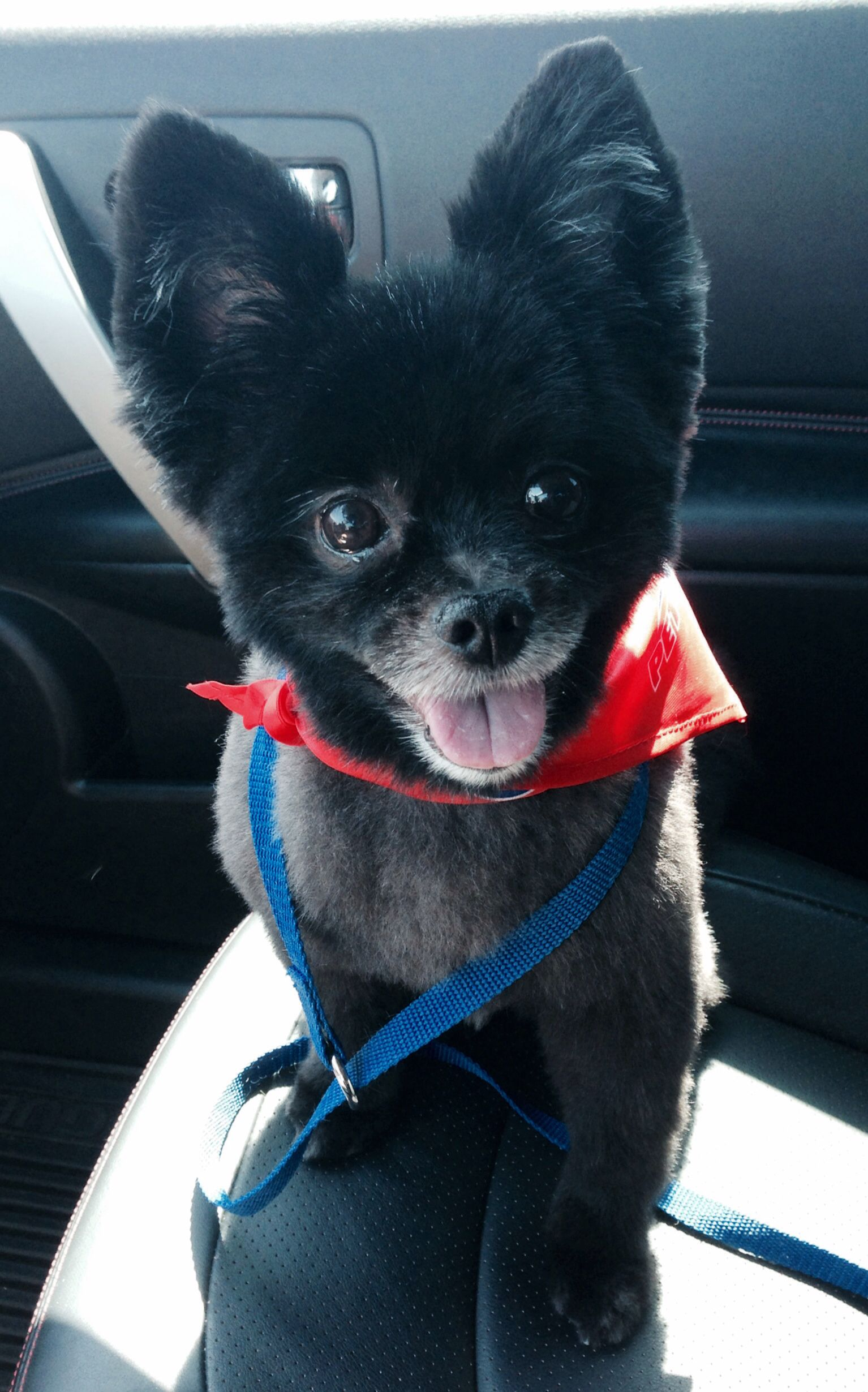 Roscoe Black Pomeranian Puppy Haircut Animalss So