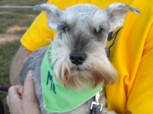 Gipper Is An Adoptable Schnauzer Dog In Raleigh Nc You Must Be