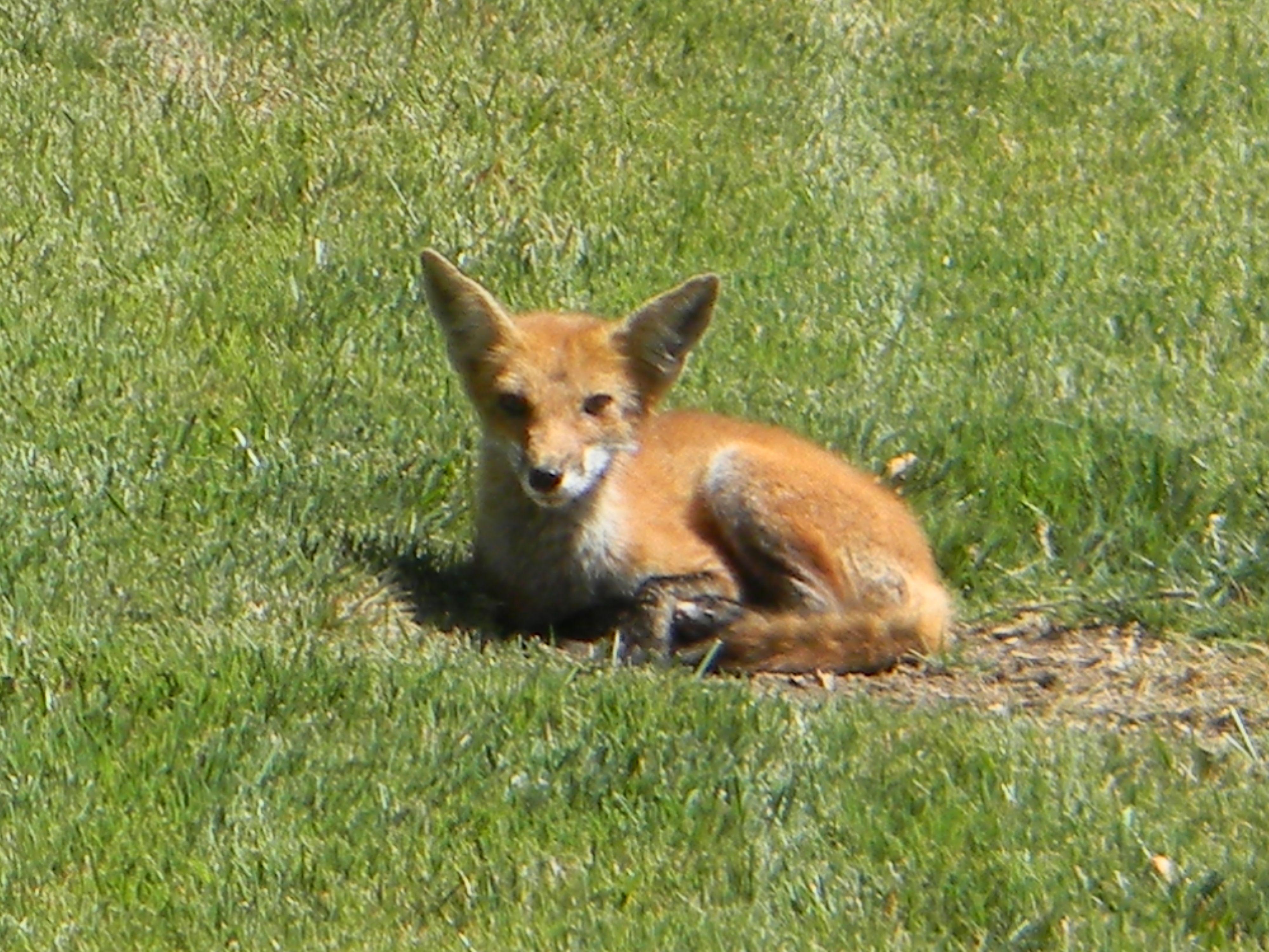 Fox in our yard | Pet birds, Animals, Fox