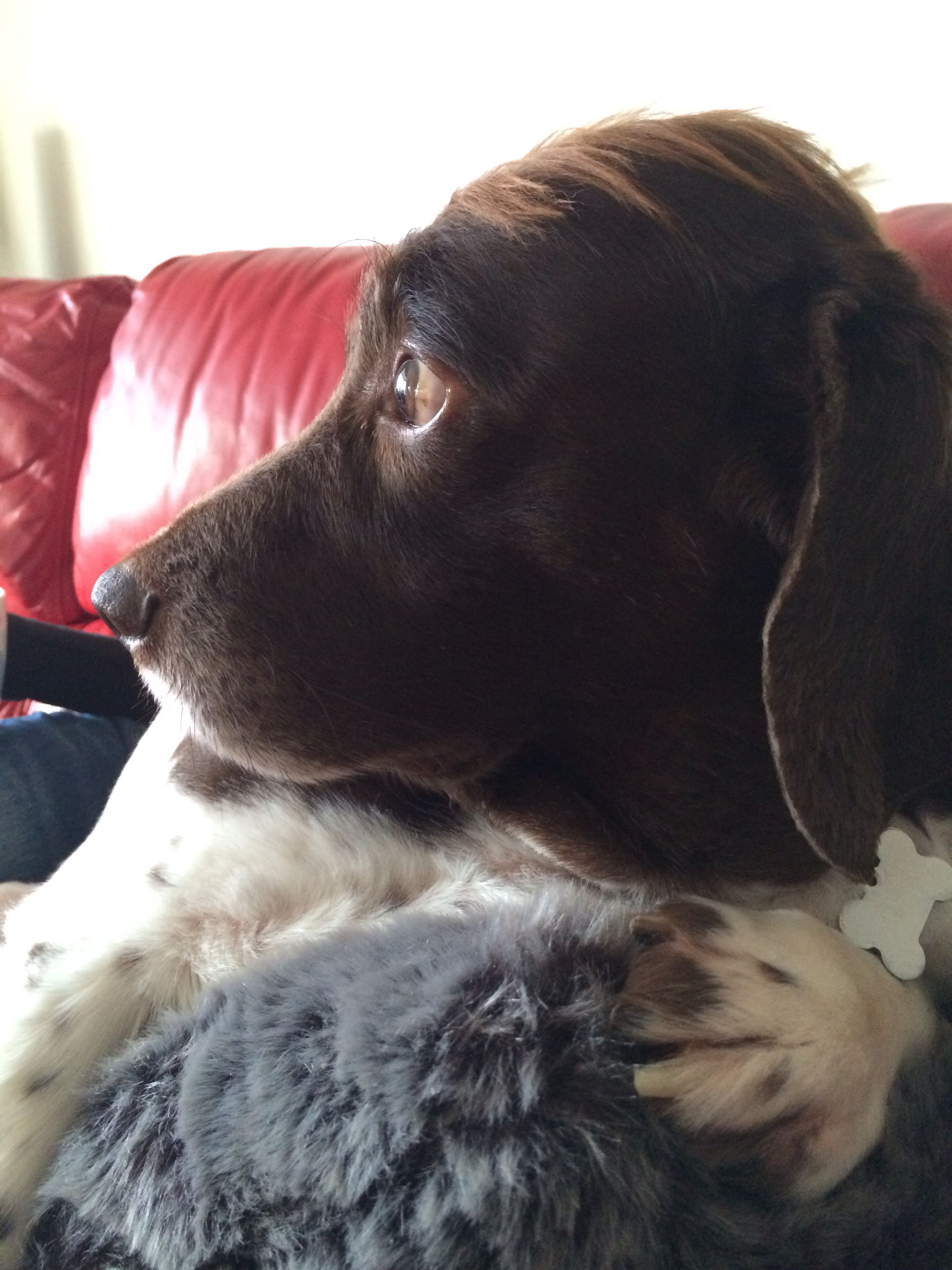 Taz 11yr old English springer spaniel